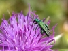 Oedemera